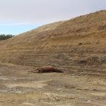 elk dead and bloated at tar mine