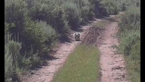 American Badger at PR Springs, SITLA land leased for strip mining